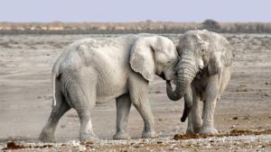 Слоны пришли на Родину